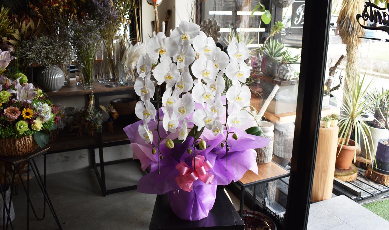 【お祝い用】胡蝶蘭ホワイト3本立ち