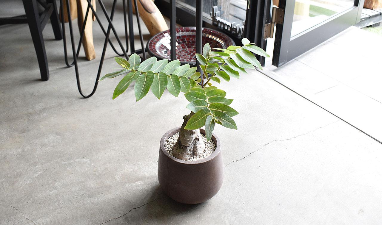 フィランサス・ミラビリス × サマイ